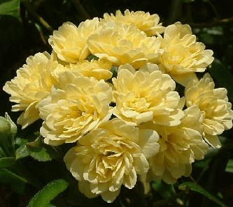 Rosa banksiae lutea, rosas exoticas, rosas bellas y hermosas