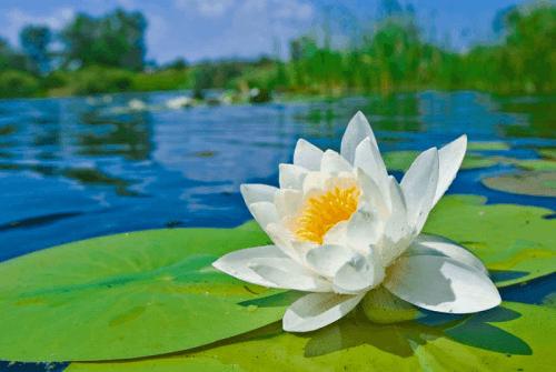 rosa lirio de agua