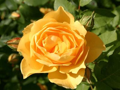 rosas exoticas, flores hermosas, flores exoticas