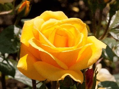 Rosa Arthur Bell, rosas exoticas, flores bonitas