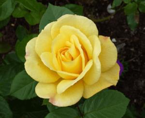 Rosa Arthur Bell, rosas exoticas, rosas unicas bonitas