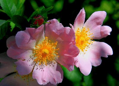 Rosa Canina Silvestre, rosas exoticas, rosas y flores bellas
