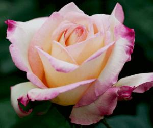 Rosa Garden Party
