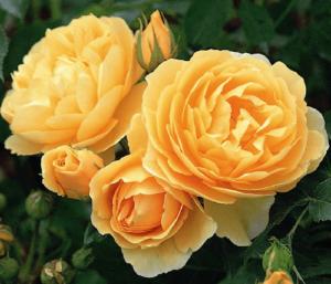 Rosa Graham Thomas, rosas bellas, rosas exoticas