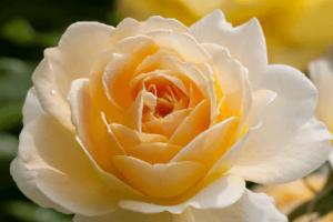 Rosa Molineux, rosas exoticas, rosas y flores bellas
