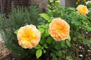 Rosa Molineux, Rosas exoticas, rosas esoticas, rosas bellas