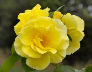 Rosa Paul´S Lemon Pillar, rosas exoticas, rosas bonitas, rosas amarillas