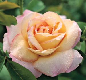 Rosa Peace Madame A. Meilland