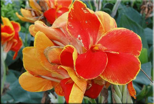 Rosa canna Indica