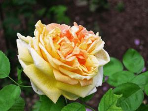 Rosa Sol de Oro