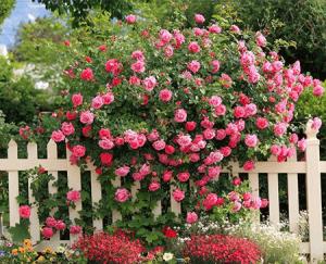 Rosas Arbustivas