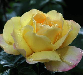 flores y rosas exoticas, bellas rosas hermosas