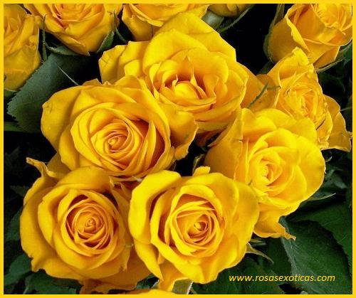 rosas amarillas, rosas hermosas amarillas
