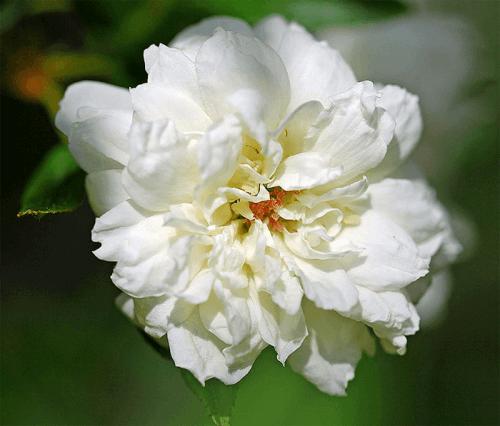 rosas-banksiae