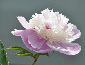 Rosas Banksiae