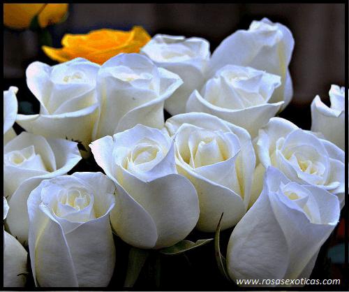 rosas blancas, rosas hermosas blancas