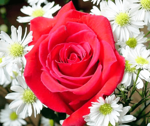 Rosas Rojas En San Valentin 2019 Conoce Su Significado