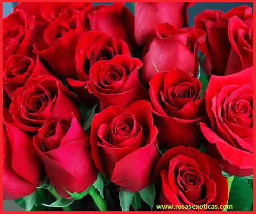 rosas rojas, rosas lindas rojas, rosas exoticas