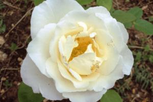 Rosa Alba García, como plantar una rosa