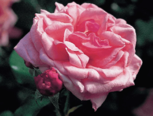 Rosas Exóticas, Rosas Rosadas significado, rosa aloha