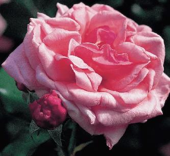 Rosas Exóticas, Rosas Rosadas significado