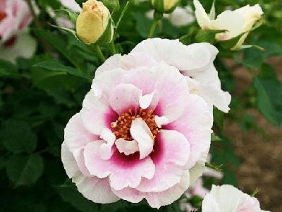 Rosa Blue Eyes, Rosas Exóticas naturales