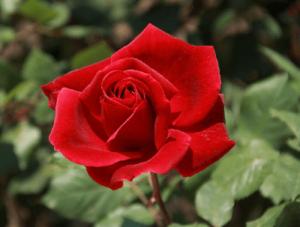 Rosas exoticas, Rosa Chrysler Imperial, significado de rosa roja