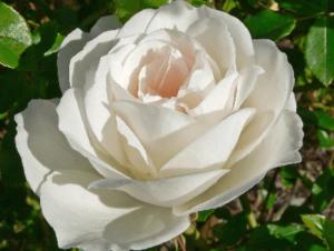 Rosa Iceberg, rosas bellas, rosas exoticas, rosas exoticas hermosas