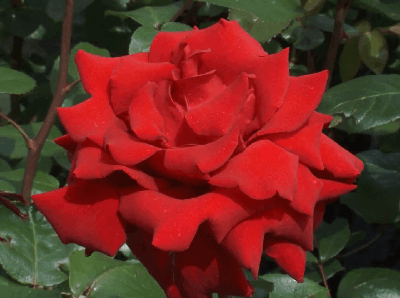 Rosa Ingrid Bergman, rosas exoticas, significado de rosas rojas