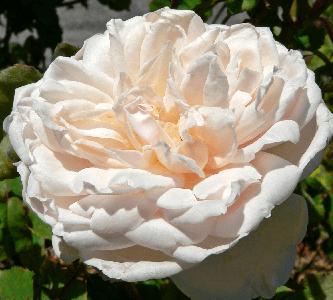 Rosa Madame Alfred Carriere, rosas exoticas, mundo de rosas bellas