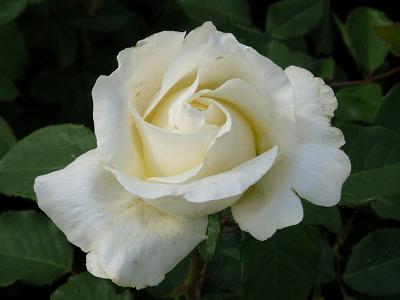 Rosa Pascali, rosas exóticas, rosas raras, rosas bellas blancas