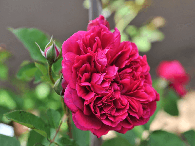 significado de rosas rojas, rosas exoticas, Rosa William Shakespeare