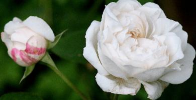 Rosa Winchester Cathedral, rosas exoticas, significado de rosas blancas