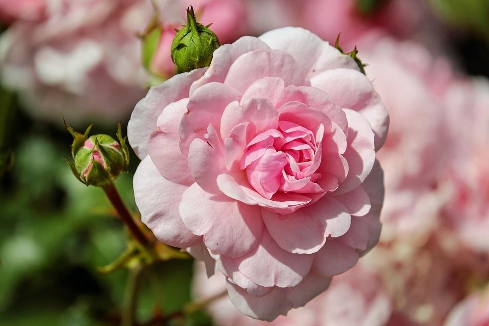 Las Rosas Exoticas Mas Bellas Del Mundo Rosas Exoticas
